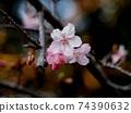 筆山 공원 빨리 피는 벚꽃 (雪割桜) 74390632