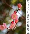 분홍색 꽃이 붙은 매화 가지 74391209
