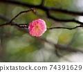 한 송이 매화 꽃 클로즈업 (핑크 매화) 74391629