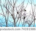 난킨하제 나무에 앉았다 4 마리의 동박새 74391986