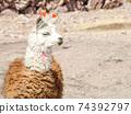 Llama - south american mammal 74392797