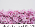 Beautiful fresh pink peony flowers in full bloom on white background. 74395228