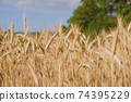 Rye field in a hot summer day, natural background. 74395229