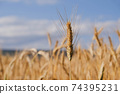 Rye field in a hot summer day, natural background. 74395231