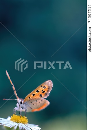 蝴蝶在美麗的白花(小銅)上吮吸花蜜春天的花園景觀 74397514