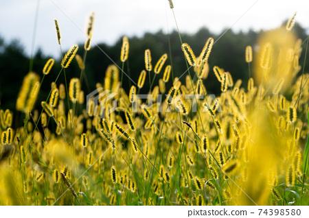 Nekojarashi,Nekojarashi,Setaria viridis,雜草 74398580