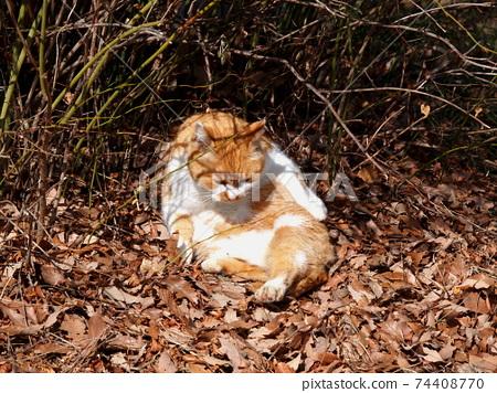 A fluffy cat basking in the sun 74408770