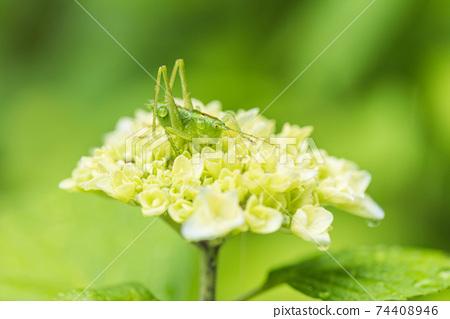 蚱hopper在雨季變濕 74408946