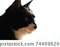 고양이 이미지 소재. 흑백 고양이. 업. 흰색 배경 74409620