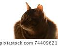 고양이 이미지 소재. 꿩 호랑이 고양이. 업. 아침 햇살. 흰색 배경 74409621