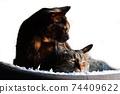 고양이 이미지 소재. 녹 고양이. 꿩 호랑이. 나카 요시. 아침 햇살. 흰색 배경 74409622