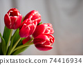 Red tulips in front of a window curtain at home 74416934