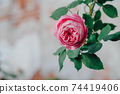 Beautiful pink antique rose blooming in the garden. 74419406