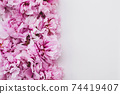 Beautiful fresh pink peony flowers in full bloom on white background. 74419407
