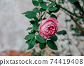 Beautiful pink antique rose blooming in the garden. 74419408