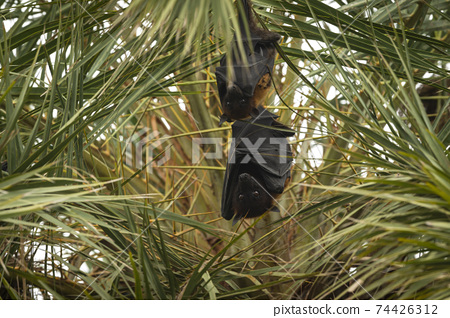 indian flying fox or greater indian fruit bat portrait hanging from tree with eyes open at forest of central india - Pteropus giganteus 74426312