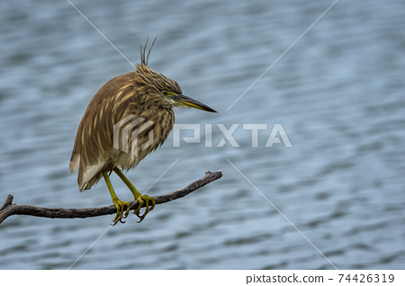 Indian Pond Heron or Ardeola grayii portrait in natural blue water flow background perched at edge of water body stalking on prey at keoladeo national park or bharatpur bird sanctuary rajasthan india 74426319