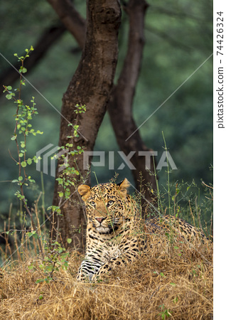 Wild male leopard or panther resting in natural green background in forest of central india - panthera pardus fusca 74426324