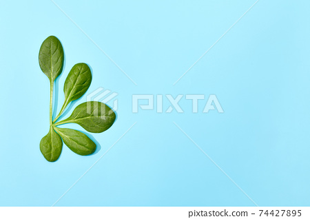 Spinach leaf isolated on soft blue background. 74427895