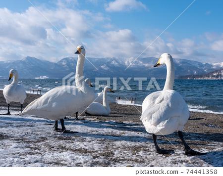 Swan Kussharo swan swan 74441358