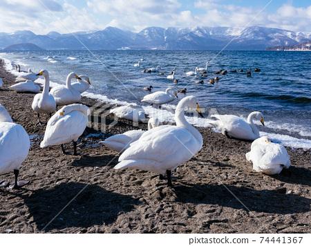 天鵝Kussharo天鵝天鵝 74441367
