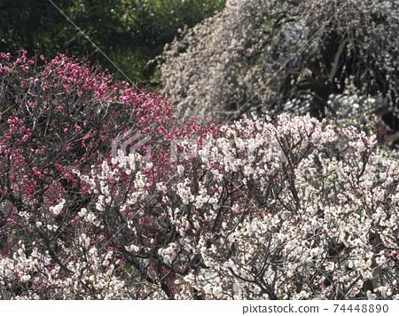 各種各樣的梅花盛開的梅園的風景 74448890