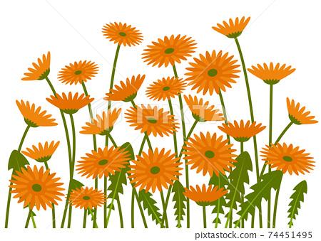 橙色非洲菊領域圖 74451495
