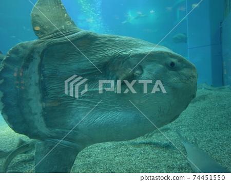 翻車魚的資料 74451550