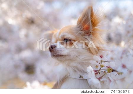 만개 한 벚꽃에서 얼굴을 내민다 치와와 74456678