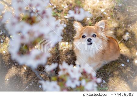 奇瓦瓦州抬頭看著盛開的櫻花 74456685