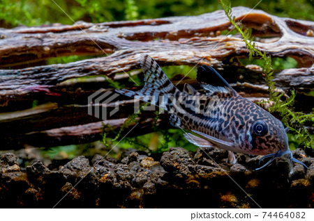 Armored catfish or Cory catfish look for food in aquatic soil near timber decorative in fresh water  74464082