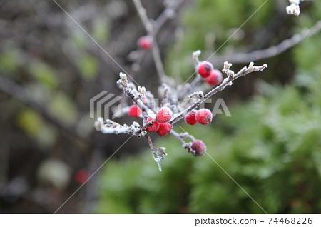 枸子的冷凍紅色水果 74468226