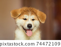 Handsome akita inu puppy. Little fluffy gingerbread 74472109