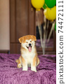 Happy akita inu puppy celebrate his adoption in new family 74472111
