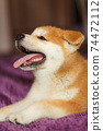 Handsome akita inu puppy. Little fluffy gingerbread 74472112