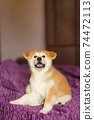 Handsome akita inu puppy. Little fluffy gingerbread 74472113