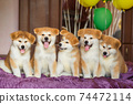Funny little akita inu puppies with balloons. Fluffy balls of happiness 74472114