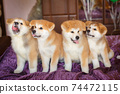 Funny little puppies akita inu. Fluffy balls of happiness 74472115