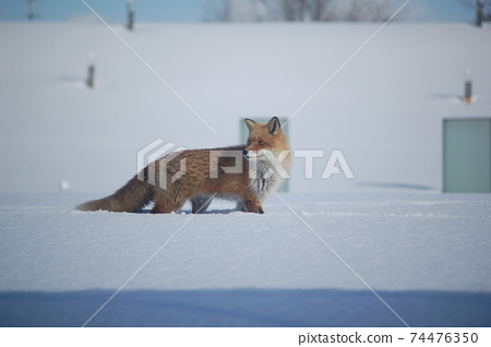 A male red fox listening to the surroundings on the snow 74476350