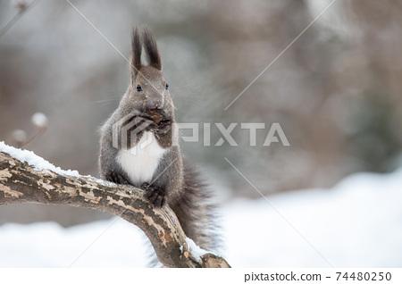 나무에 호두를 먹는 다람쥐 74480250