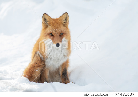 北狐狸在雪地裡nest依 74481037
