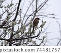 伯勞鳥棲息在白李的樹枝上 74481757