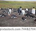 福克蘭群島企鵝王和巴布亞企鵝西洋鏡風格 74482704