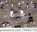 福克蘭群島企鵝王和巴布亞企鵝西洋鏡風格 74482710