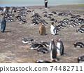 福克蘭群島企鵝王和企鵝國王希娜·金圖歐企鵝西洋鏡風格 74482711