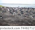 福克蘭群島巴布亞企鵝西洋鏡風格 74482712