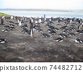 Falkland Islands Gentoo Penguin Diorama Style 74482712