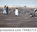 Falkland Islands King Penguin and Gentoo Penguin Diorama Style 74482715