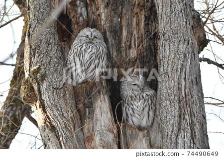 兩隻貓頭鷹在仲冬白天在大樹洞中休息 74490649