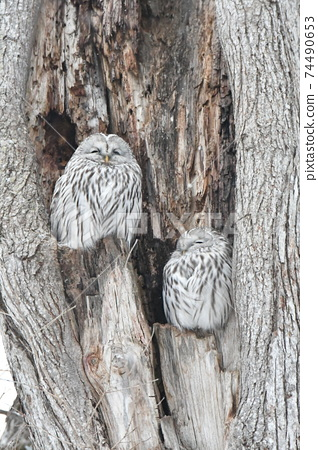 Two owls resting in a large tree cave during the daytime in the midwinter 74490653
